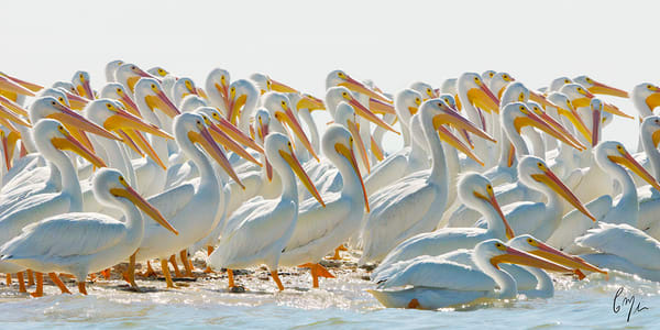 Photograph of white pelicans in the Everglades - Constance Mier Photography