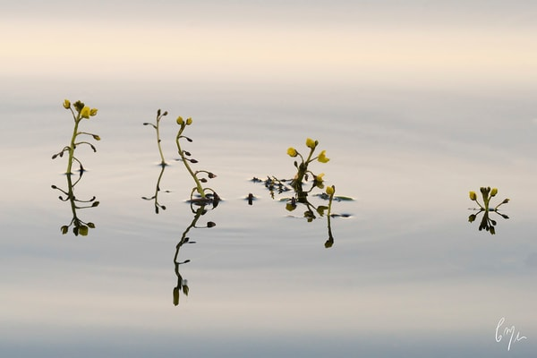 Photograph of tiny water plants in Big Cypress - Constance Mier Photography