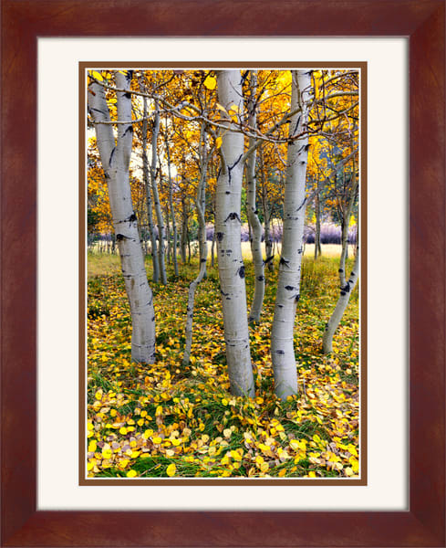 Yosemite East (151336LNND8) Aspen Trees Photograph for Sale as Framed Fine Art Paper Print