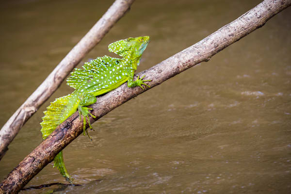 Jesus Lizard : Cano Negro River, Costa Rica - By Curt Peters