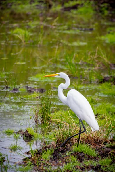 White Egret in a marsh in Costa Rica.