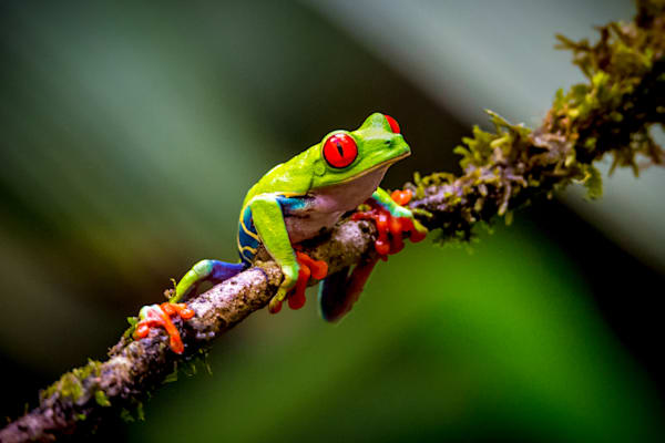 Red Eye Tree Frog: Costa Rican Rainforest - By: Curt Peters