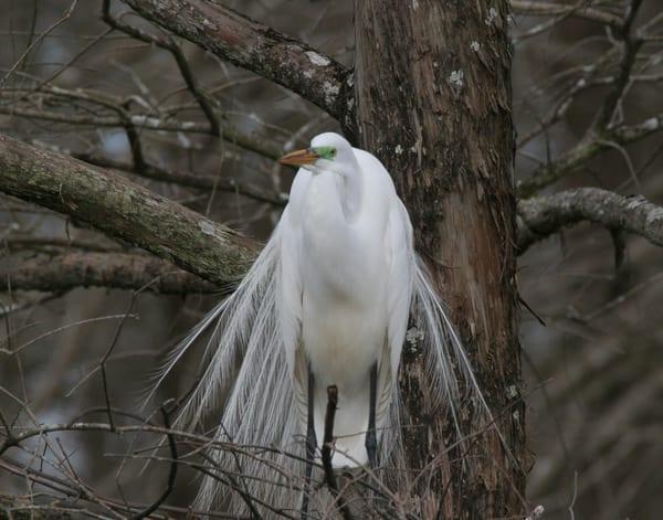 egret displaying