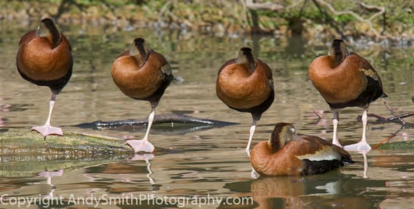 fine art photograph of five black-bellied whistling ducks at rest