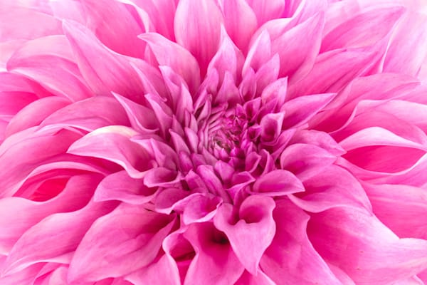 Hot Pink Photograph of a Flower in Bloom | Susan Michal Fine Art