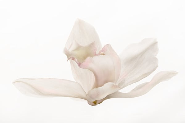 Graceful | Photograph of an Orchid | Susan Michal Fine Art