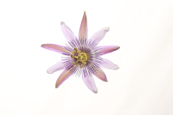 Passionate | Photograph of a Passion Flower | Susan Michal Fine Art
