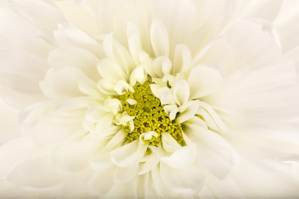 Tender | Photograph of a Dahlia | Susan Michal Fine Art
