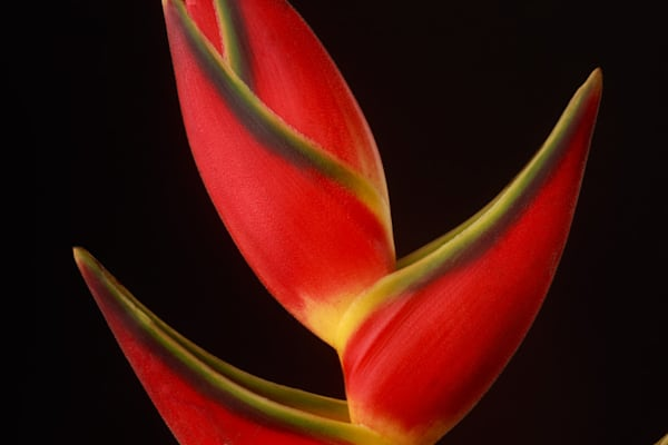 Striking | Photograph of a Lobster Claw | Susan Michal Fine Art