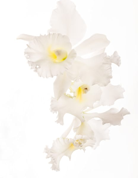 Cascade | Photograph of Orchids | Susan Michal Fine Art