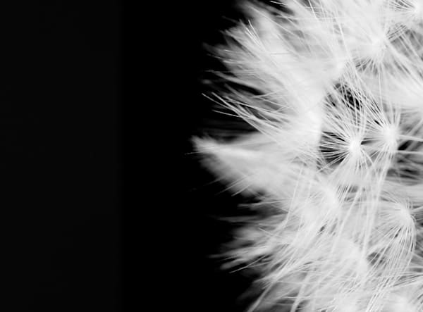 Day Dream Photograph of a Dandelion | Susan Michal Fine Art