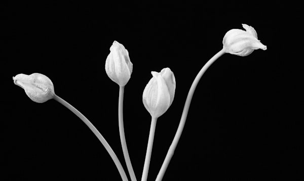 Sprung | Photograph of Tulips | Susan Michal Fine Art