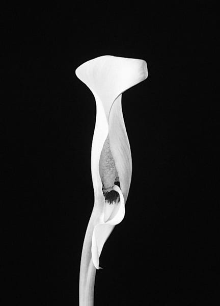 Resolute | Photograph of a Calla Lily | Susan Michal Fine Art
