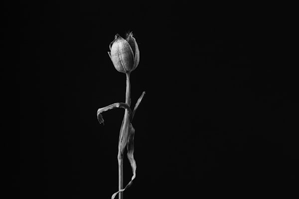 Stand Tall | Photograph of an African Iris Seedpod | Susan Michal Fine Art