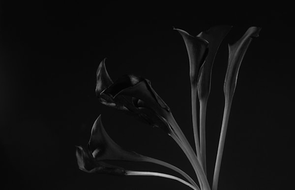 Black Beauty | Photograph of Calla Lilies | Susan Michal Fine Art