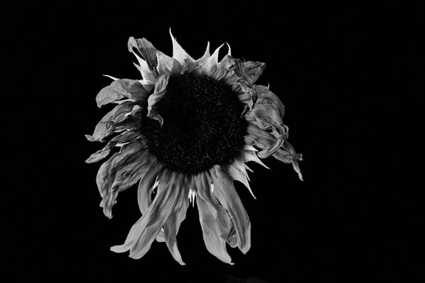 Broken Photograph of a Sunflower | Susan Michal Fine Art