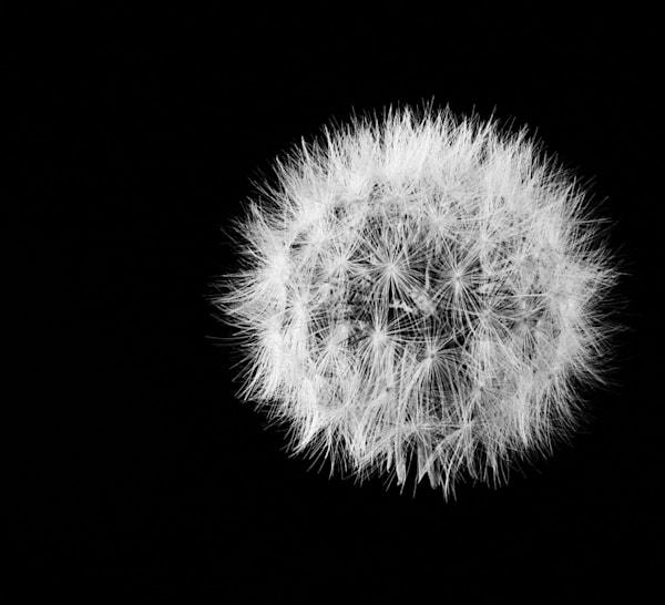 Full Circle Photograph of a Dandelion   Susan Michal Fine Art