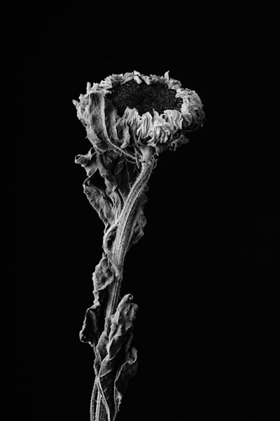 Last Hug | Photograph of a Sunflower | Susan Michal Fine Art