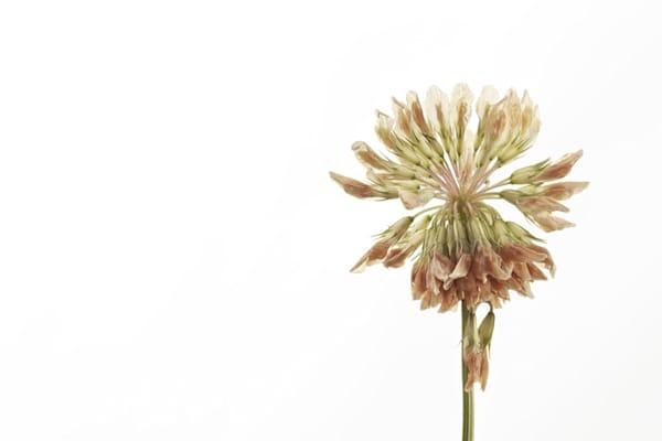 Clover Photograph of a Clover | Susan Michal Fine Art