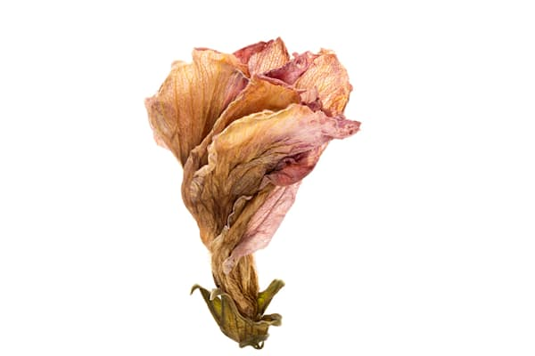 Transparent Photograph of a Withered Flower | Susan Michal Fine Art