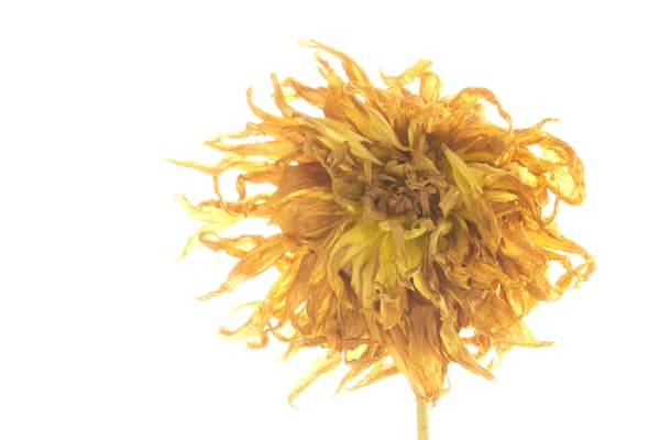 Withered Flower Photography | Susan Michal Fine Art
