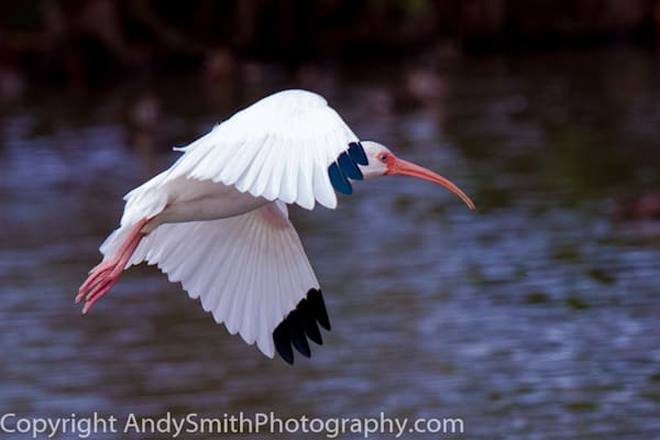 fine art photograph of white ibis in flight