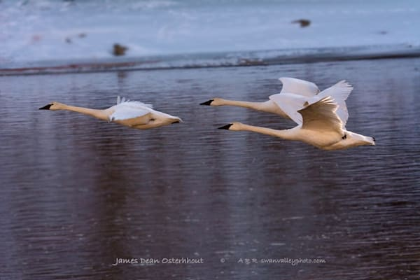 Afternoon Flight Photography Art | Swan Valley Photo