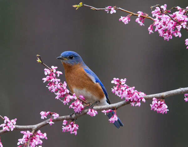 Eastern Bluebird Photography Art | Jim E Johnson Photography