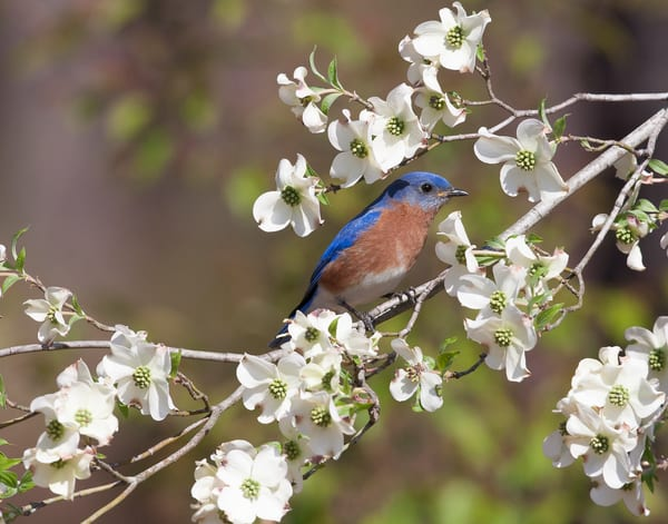 Eastern Bluebird In Dogwood Photography Art | Jim E Johnson Photography
