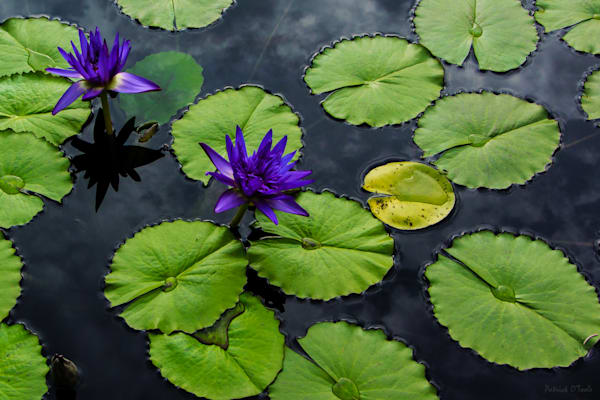 Patrick O'Toole fine art photographs capture nature at its finest including these water lilies.