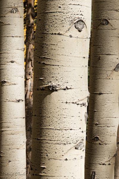 Aspen Bark Photography Art | Patrick O'Toole Photography, LLC