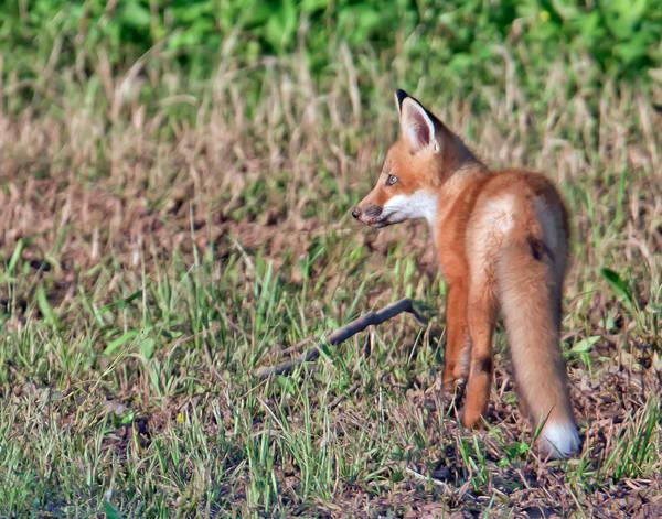 Red Fox  Photography Art | Jim E Johnson Photography