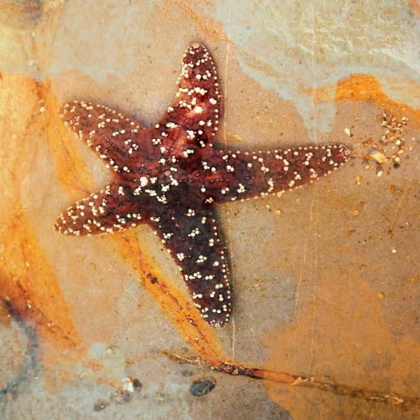 Orl 1398 Starfish On The Stone Art | Irena Orlov Art