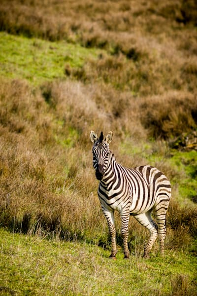 Zebra : Winston Wildlife Safari, Oregon - By Curt Peters