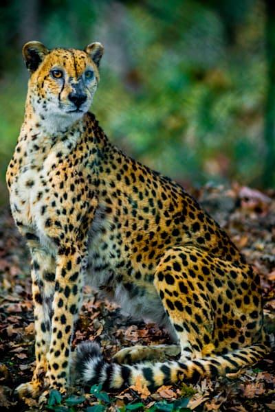 Cheetah : Winston Wildlife Safari, Oregon - By Curt Peters