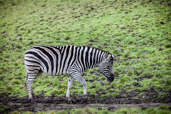 Zebra: Winston Wildlife Safari, Oregon - By Curt Peters