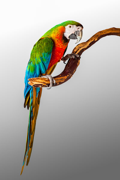 Macaw Parrot 0007 Photography Art | Curtis Peters Photography