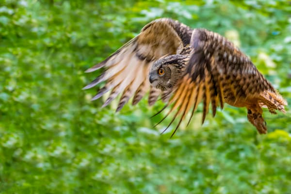 Owl In Flight-0453