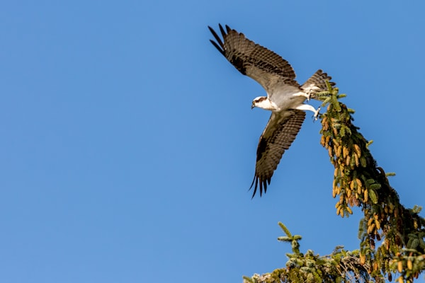 Osprey taking flight along the river