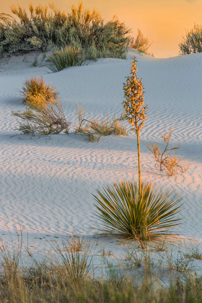 Golden Sunset on Yucca Dunes photograph for sale as art.