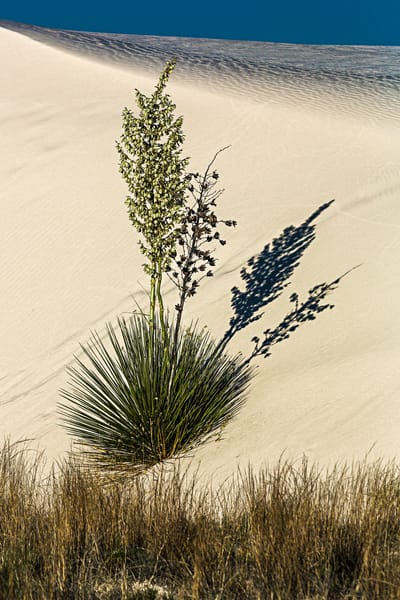 Blooming Yucca On Sand Dune photograph for sale as art.