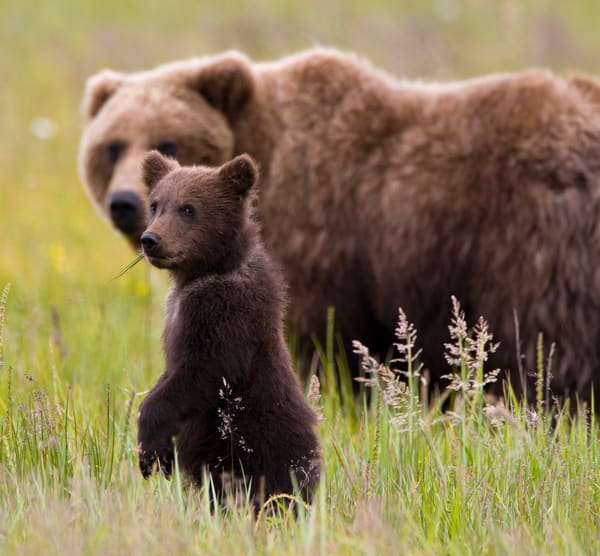 Grizzly Cub, Yes?, Alaska