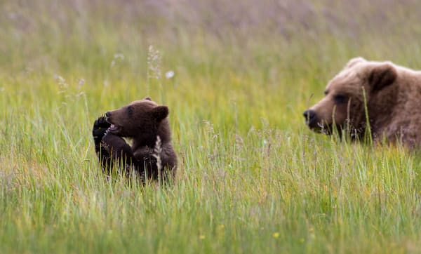 Grizzly Cub, Hello! Alaska