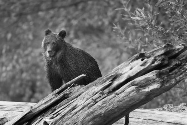 Grizzly Cub III, Bella Coola