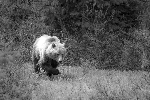 Grizzly Bear I, Banff