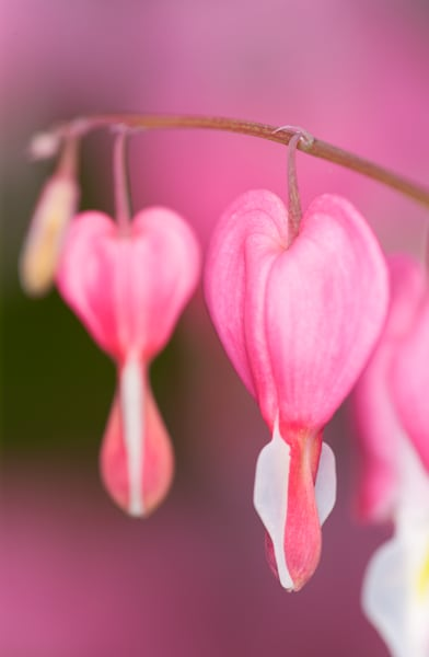Bleeding Hearts flowers photograph for sale as Fine Art