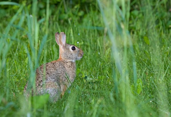 Cottontail Rabbit photograph for sale as Fine Art.