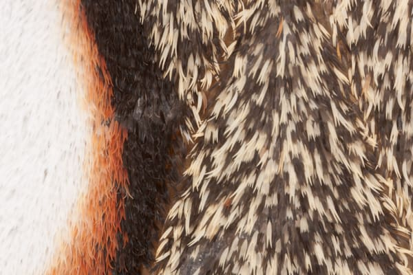 Cecropia Moth wing scale photograph for sale as Fine Art.
