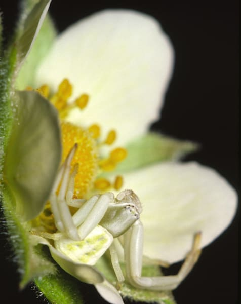 Crab Spider on Cinquefoil photograph for sale as Fine Art.