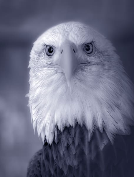 Bird Prey Bald Eagle USA wildlife symbol|Wall Decor fleblanc